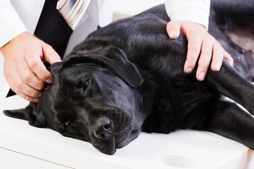 O que fazer se meu cão tiver câncer?