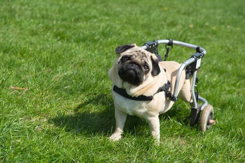 Cães paralíticos conseguem andar graças às células de seus focinhos