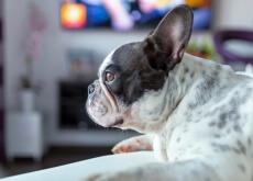 cão aficionado por filmes de terror