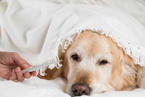 colocar o termômetro em um cão
