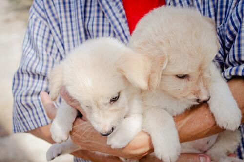 dois_caes_cachorros_brancos_no_braço