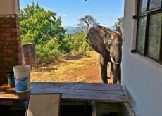 elefante baleado