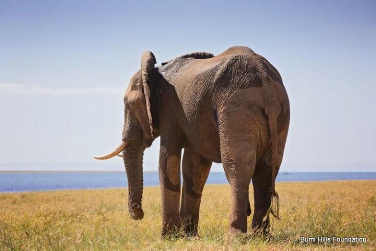 elefante-baleado-3
