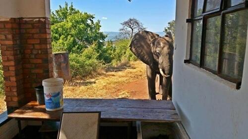 Elefante baleado por caçadores vai à casa de humanos para pedir ajuda