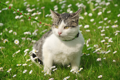 gato-com-correia