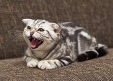 gato_zangado_agressivo