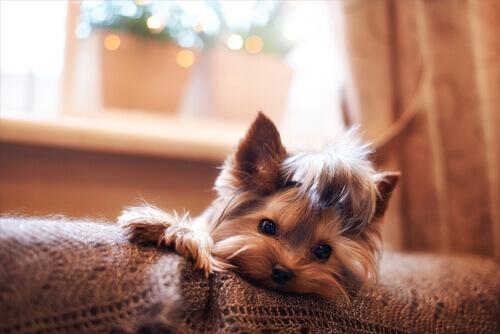 Uma cadela pode ter gravidez psicológica?