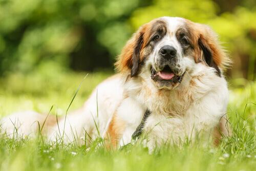 hematomas-nos-cães