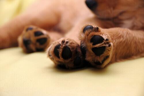 patas-do-cão