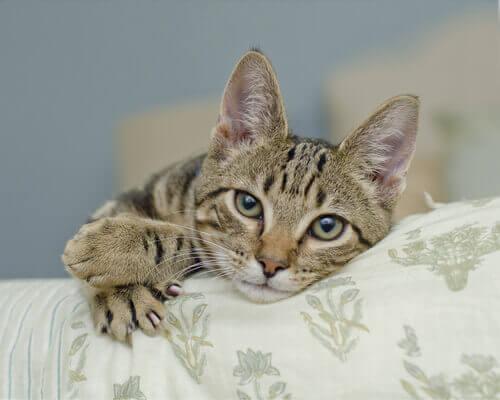 unhas do gato