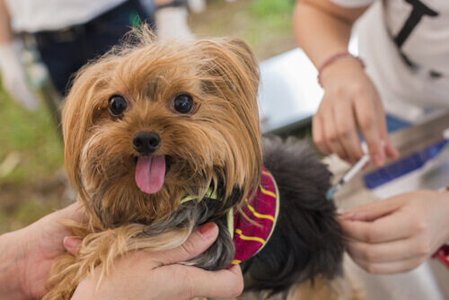 Vacinas caninas e sua importância para a saúde
