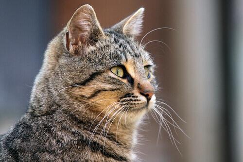Conheça todos os segredos dos bigodes dos gatos