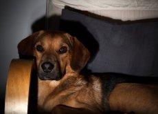 cães assistem televisão