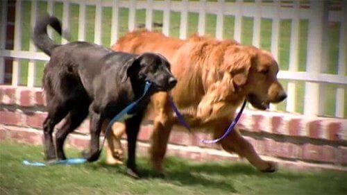 cão cego salvo