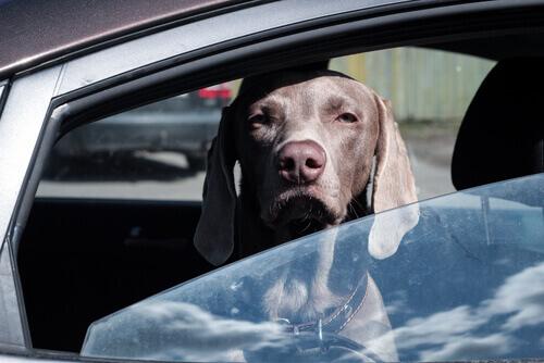 Por que não se deve deixar o seu cachorro dentro do carro?