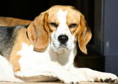 cachorro_beagle_emburrado_resmungao