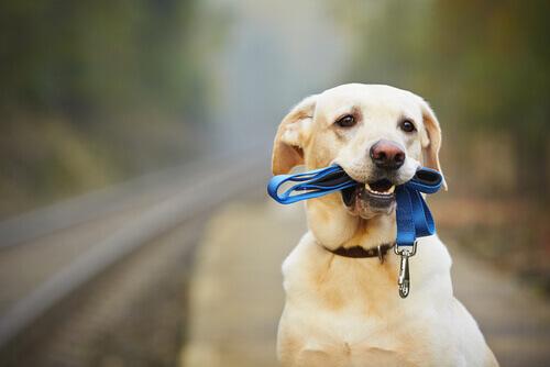 Como ensinar o seu cão a usar coleira?