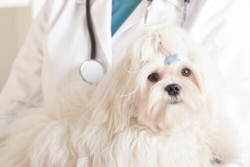 Quimioterapia para cães