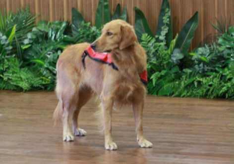 Happy, o cão que acalma crianças em audiências