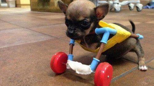 Conheça Turbo Roo, um chihuahua com espírito de superação