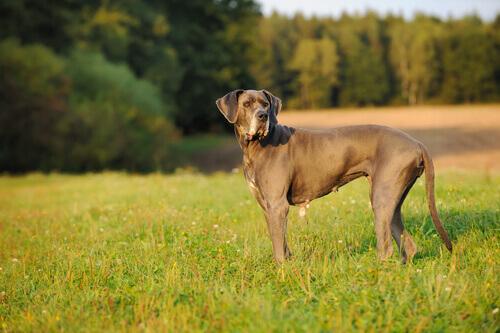 Dogue Alemão: um gigante adorável