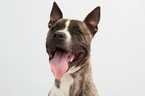 Ecoy, o cachorro roubado e usado para rinhas, à procura de um lar