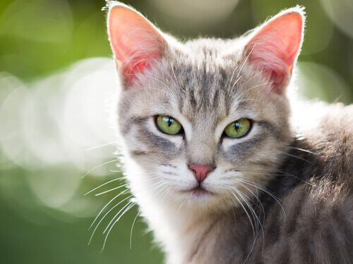 Os gatos podem sofrer de hipertireoidismo