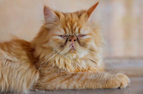 5 cuidados que devem ser tomados com gatos idosos