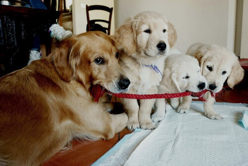 golden_retriever_filhotes