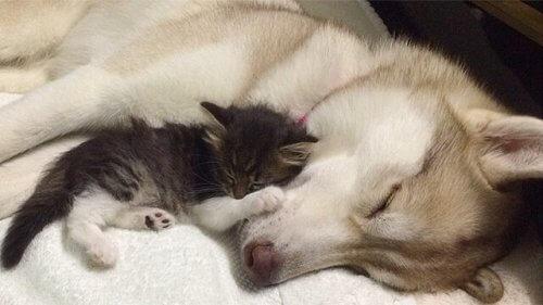 Lilo, a cadela husky que adotou uma gatinha