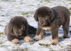 cães mais caros