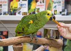 papagaio_comendo