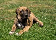 cachorro-fila-brasileiro