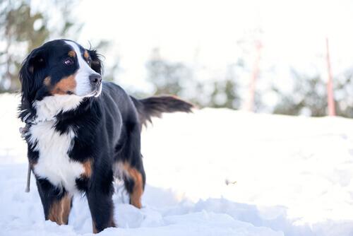 Quero ir para a neve com meu cão!