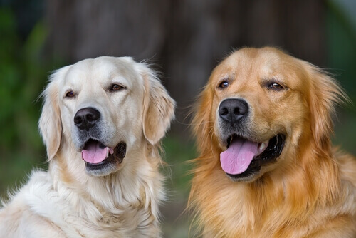 casal_caes_golden_retriever