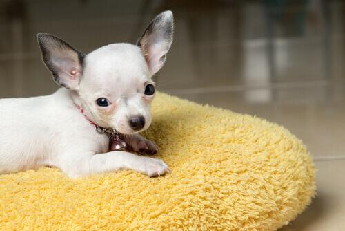 Como baixar a febre nos cachorros