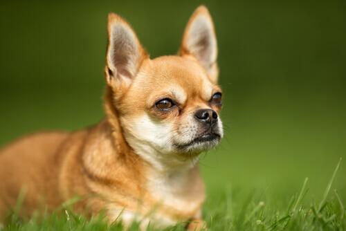 gases nos cães