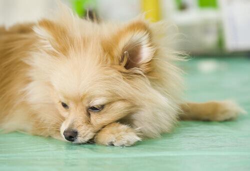 meu-cachorro-vomita-com-freque%cc%82ncia