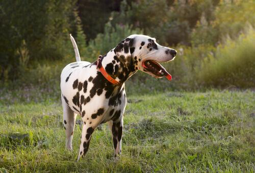 Os cães também abanam o rabo quando estão tristes