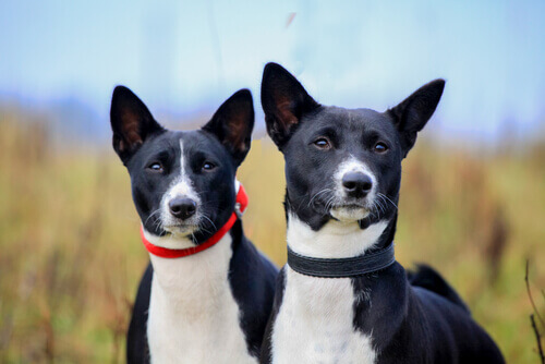 Como proteger os ouvidos do seu cachorro durante o verão?
