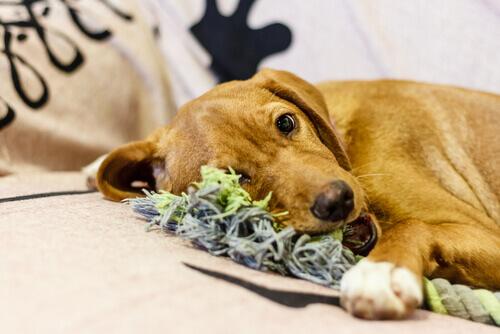 Faça brinquedos para o seu cão com roupa velha