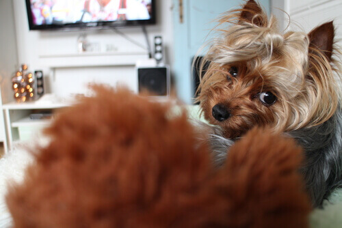 cães também assistem televisão