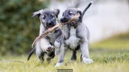 gêmeos idênticos de cão