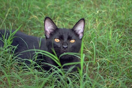 O gato Bombaim, uma pantera no lar