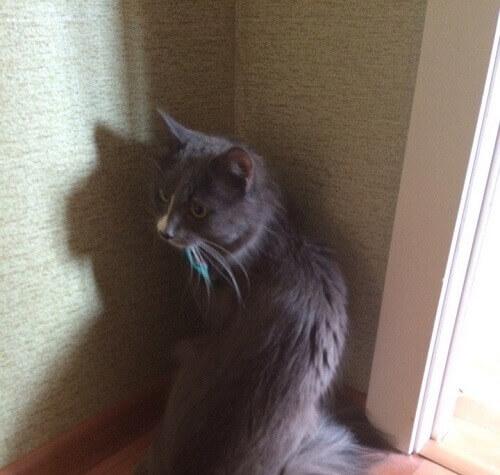 gato-russo-2