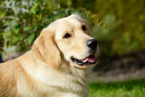 Por que nunca se pode dar maconha ao seu cão?