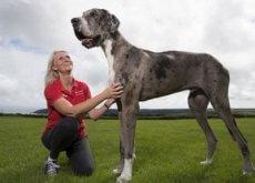 maior cão do mundo