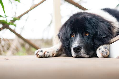 Os cães podem ter problemas emocionais?