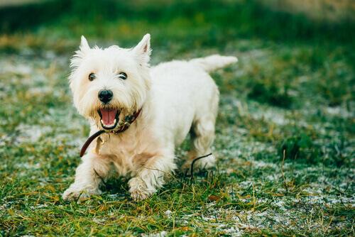 7 raças de cães que quase não soltam pelos