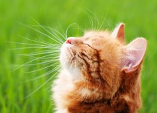 repelentes-caseiros-para-gatos